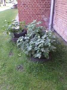 Kartoffeln_Blüte